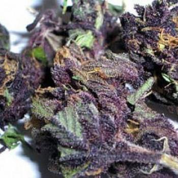 Grand Daddy Purple Strain
